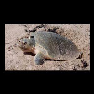 tortugas en arena