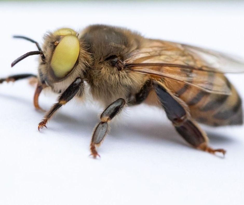 animales abeja