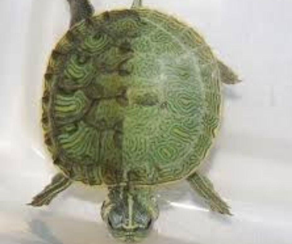 animales tortuga