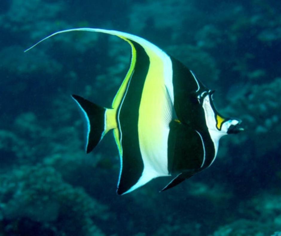 peces exóticos animal