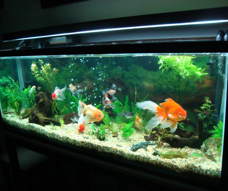 peces exóticos pecera con peces