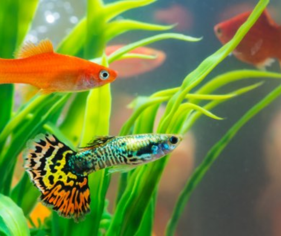 peces exóticos pez pequeño